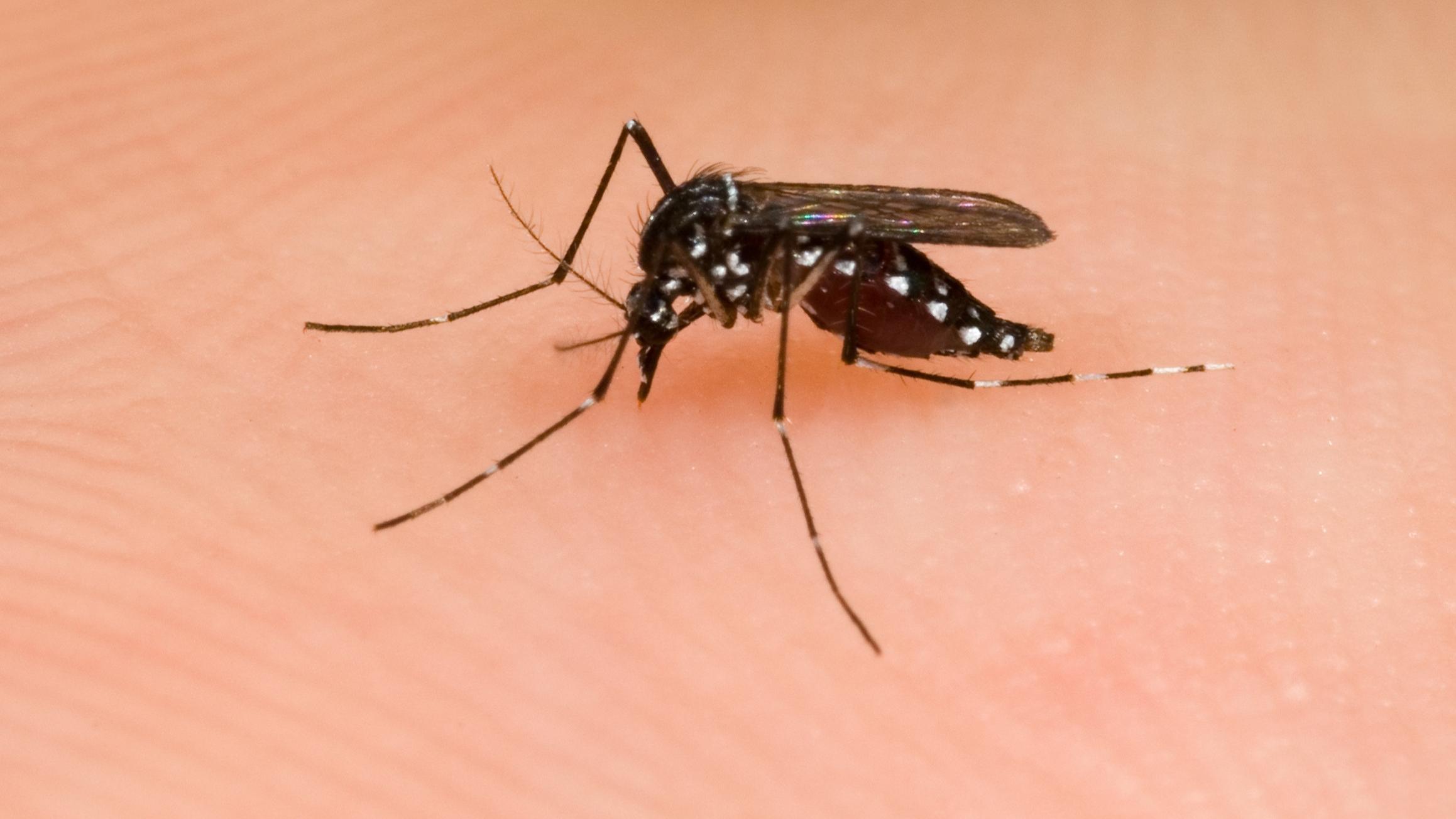 Die Tigermücke hat helle weiße Querstreifen auf Körper und Beinen.