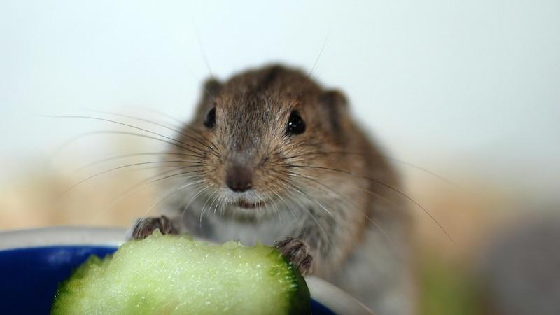 Knoblauch gegen Wühlmäuse: Was wirklich gegen die Nager hilft
