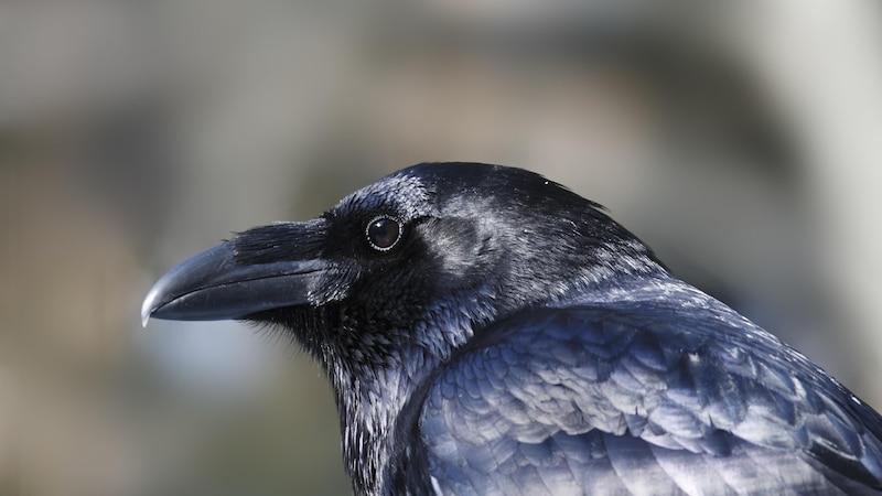 Was ist der Unterschied zwischen Rabe und Krähe? Einfach erklärt