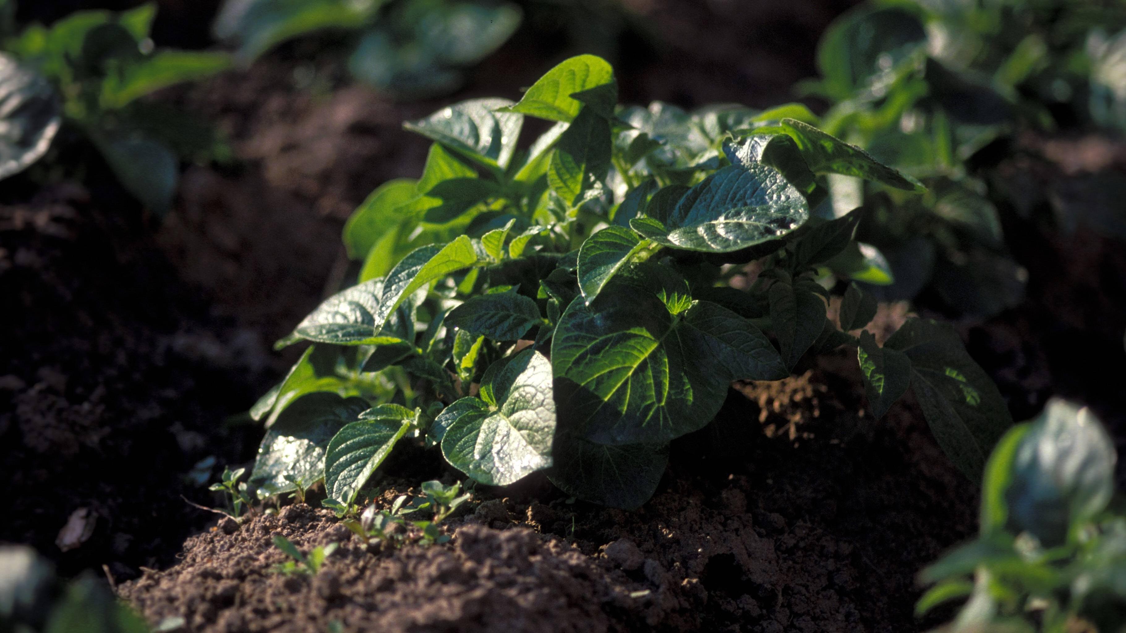 Beim Anlegen eines Kartoffelbeetes sollten Sie die Pflanzabstände beachten.
