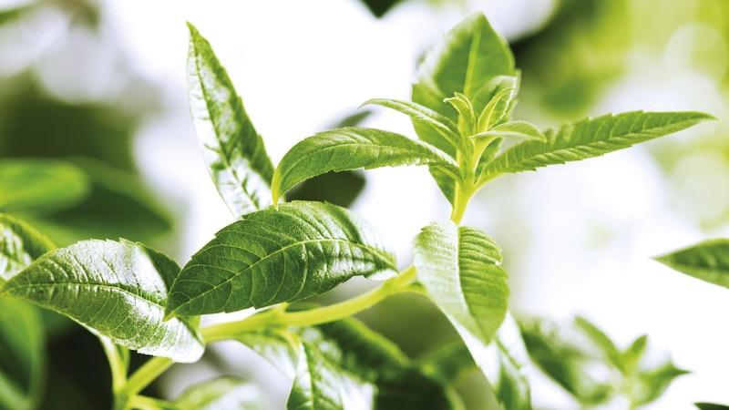 Zitronenverbene: Wirkung und Anwendung als Heilpflanze