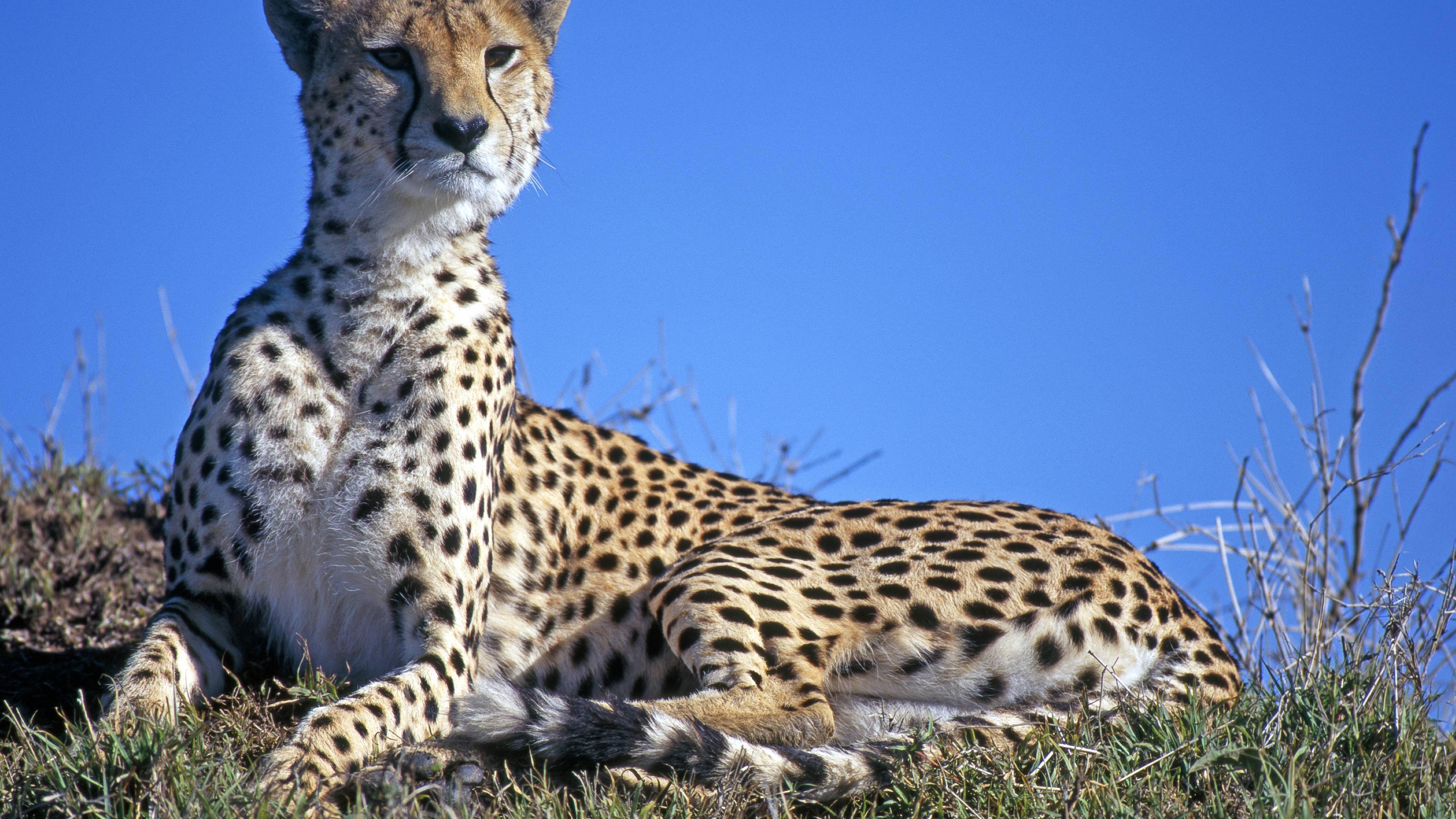 Unterschied Leopard und Gepard - einfach erklärt