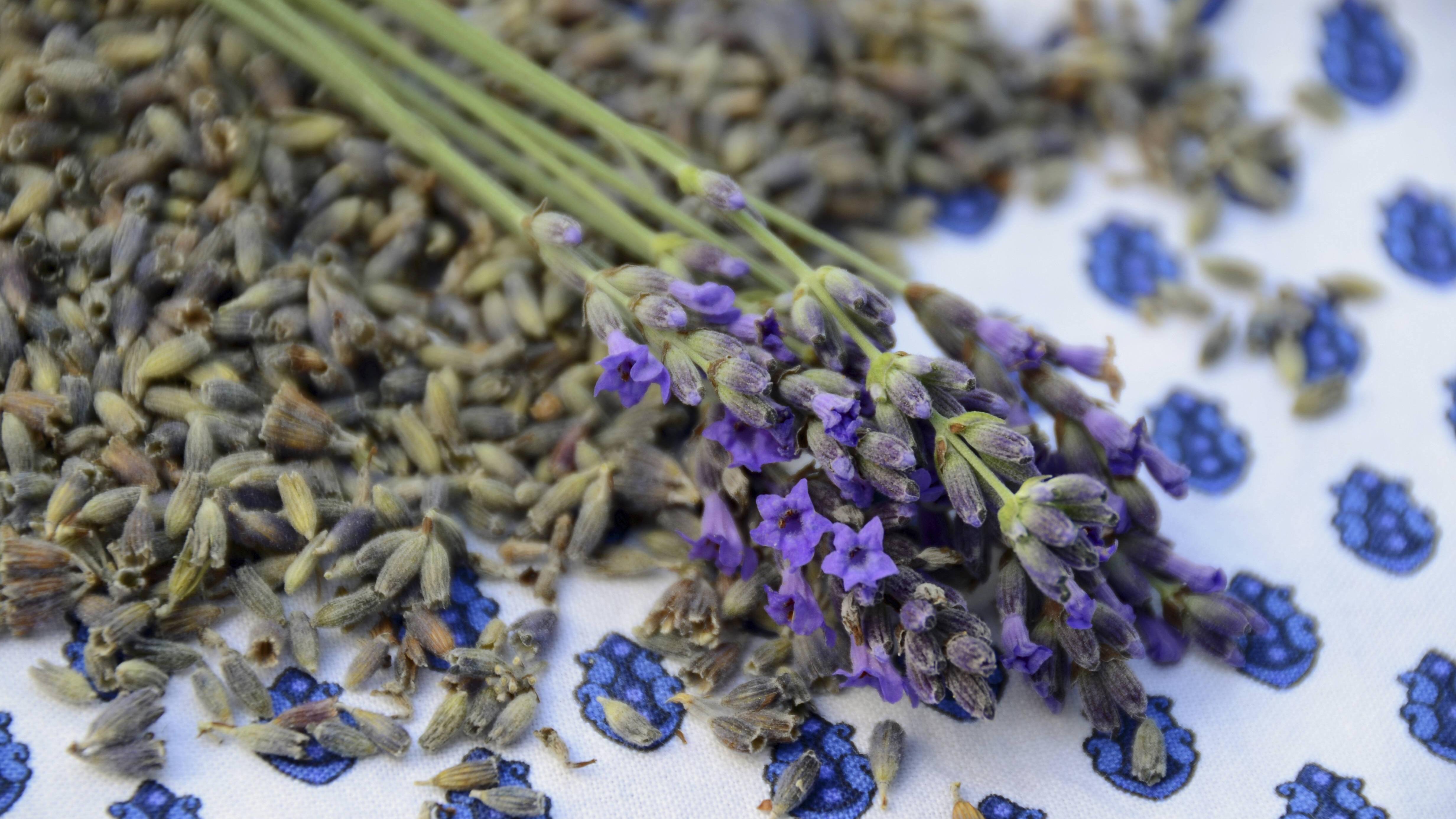 Der perfekte Zeitprunkt Lavendel zu schneiden, ist vor der Ernte.