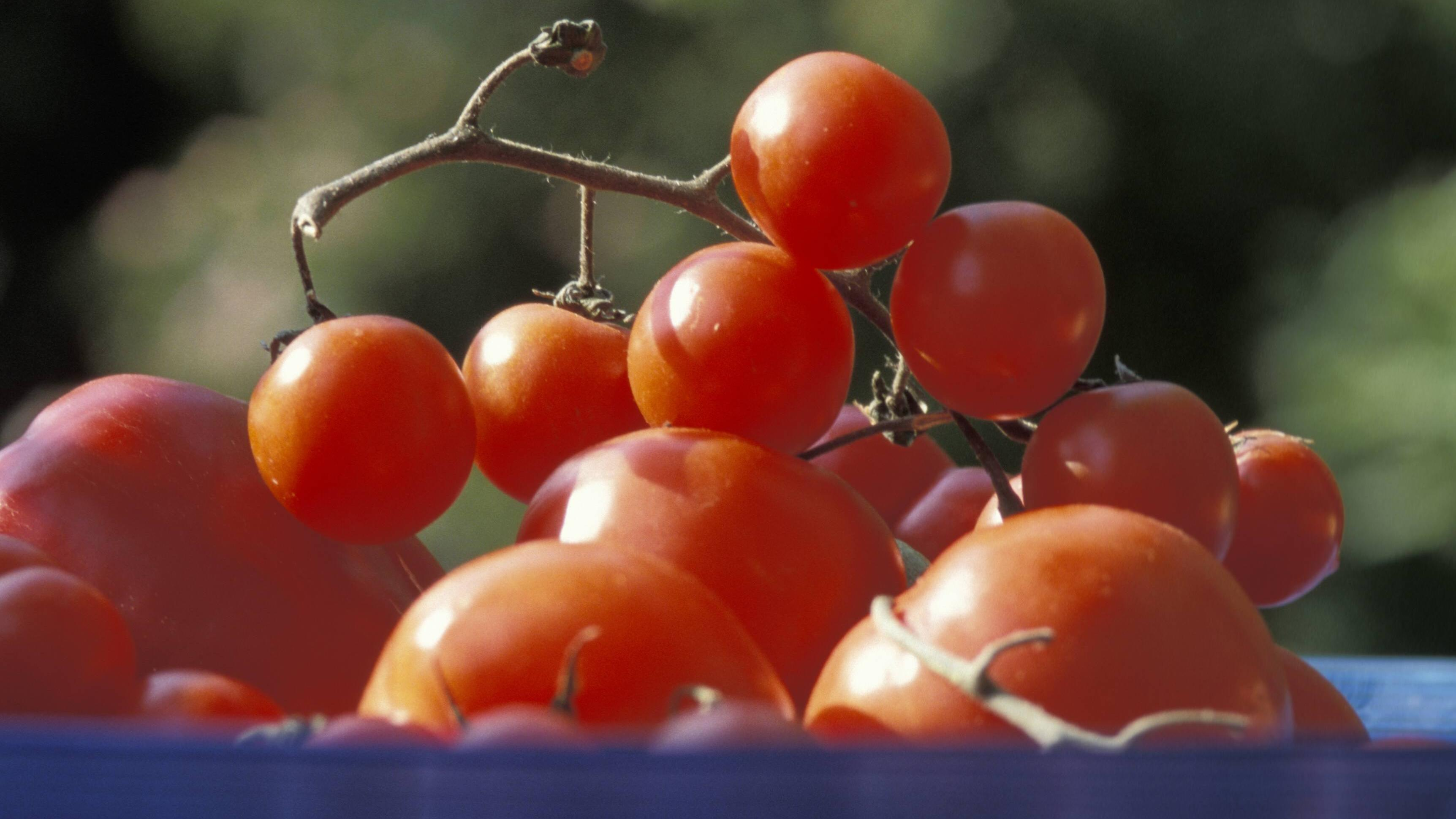Tomaten lassen sich einfach fermentieren.