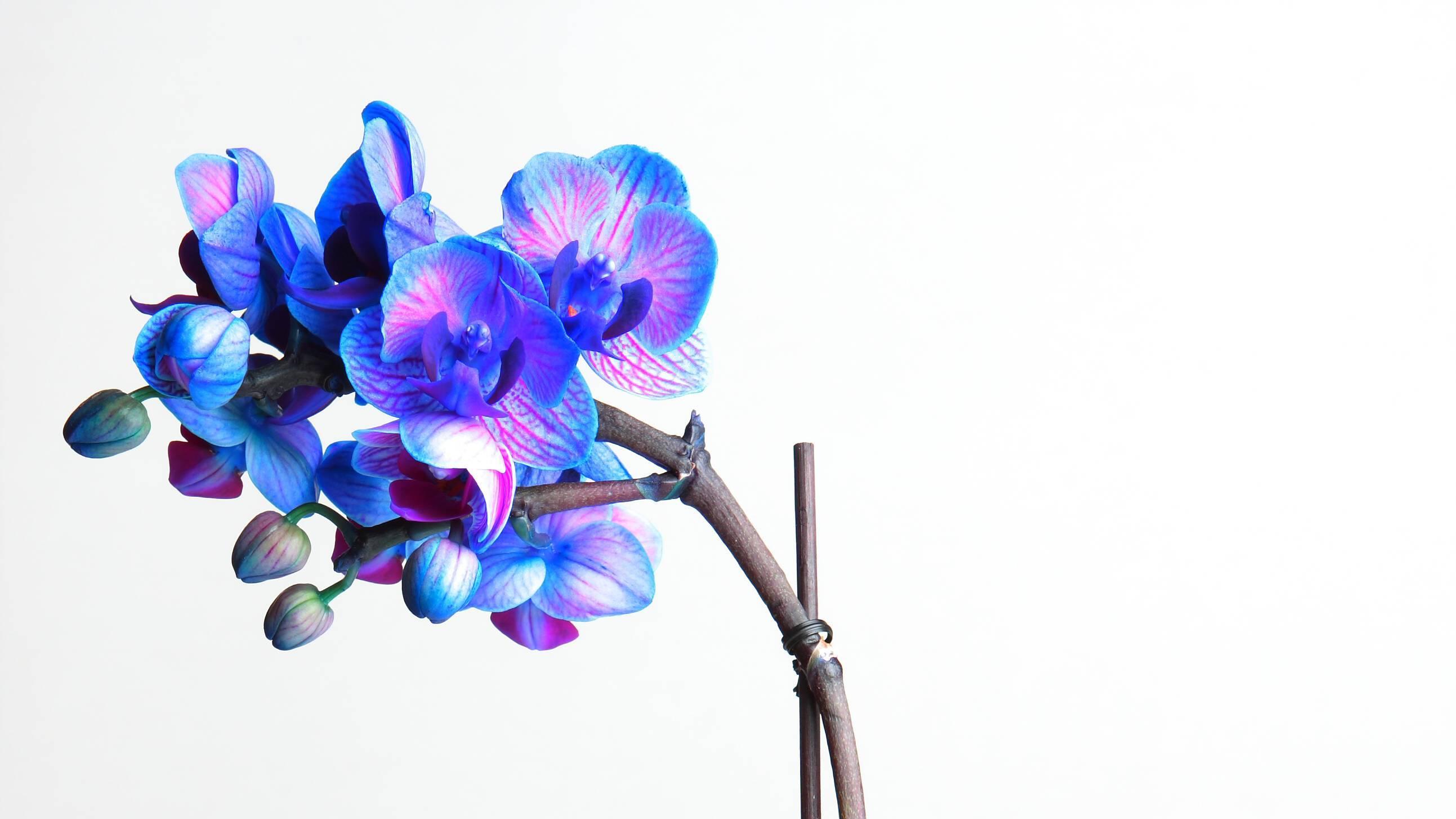 Eine Orchidee färben Sie auf mehreren Weisen.