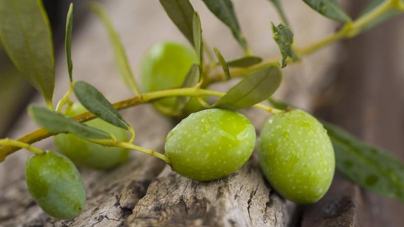 Oliven ernten und einlegen - so geht's