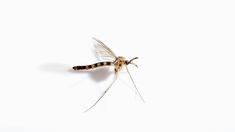 Lebensdauer von Mücken: So alt werden Moskitos