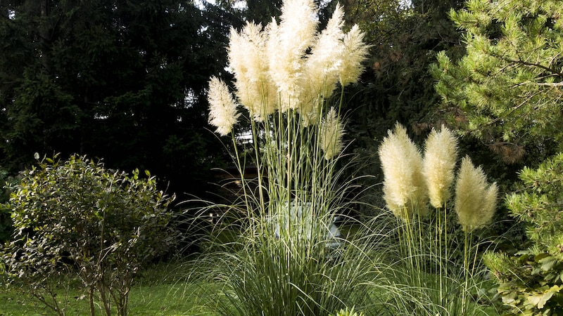 Getrocknetes Pampasgras eignet sich ebenso gut für die Dekoration von Außenflächen wie eine frische Pflanze.