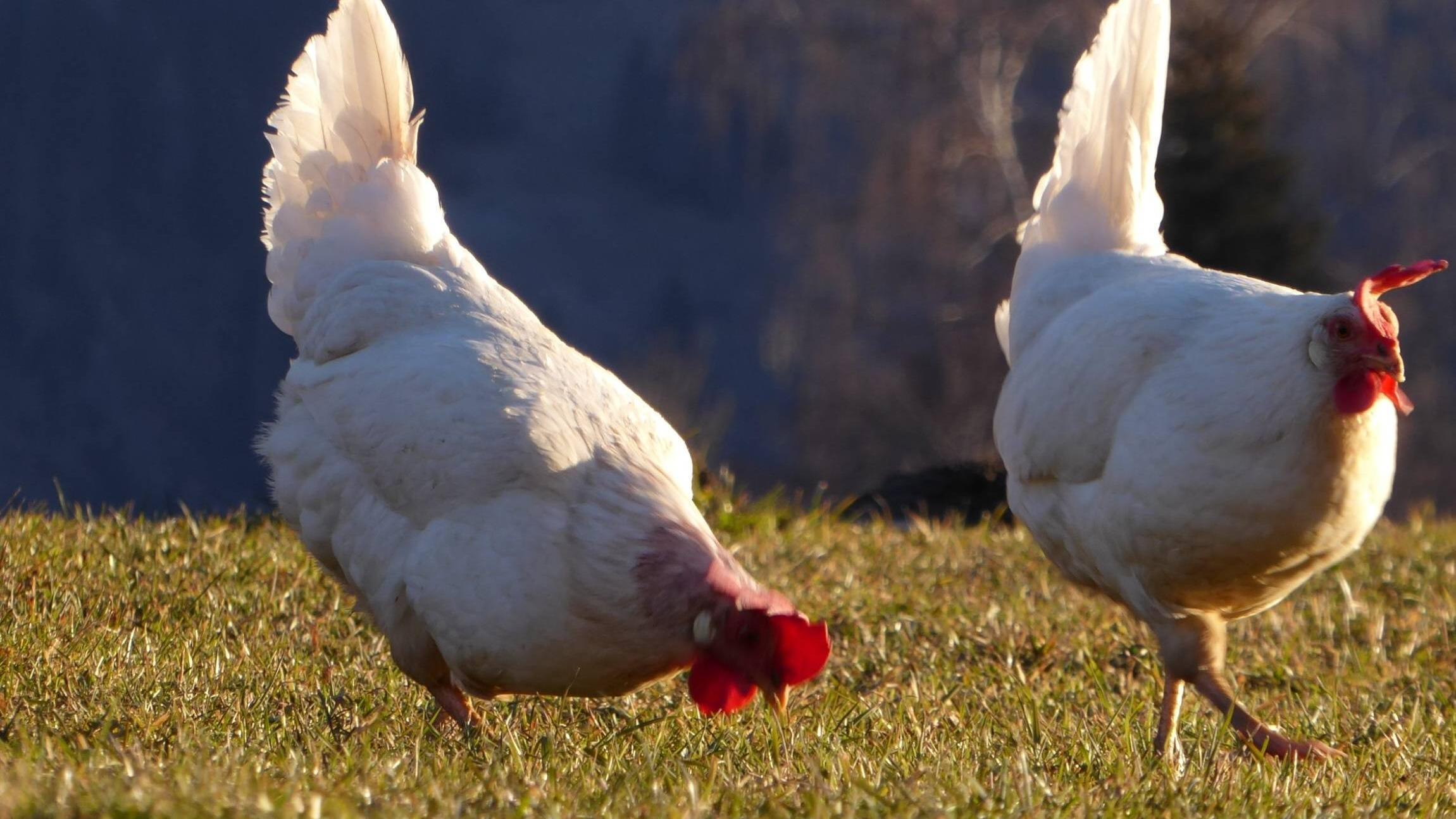 Da lachen ja die Hühner - das bedeutet die Redewendung