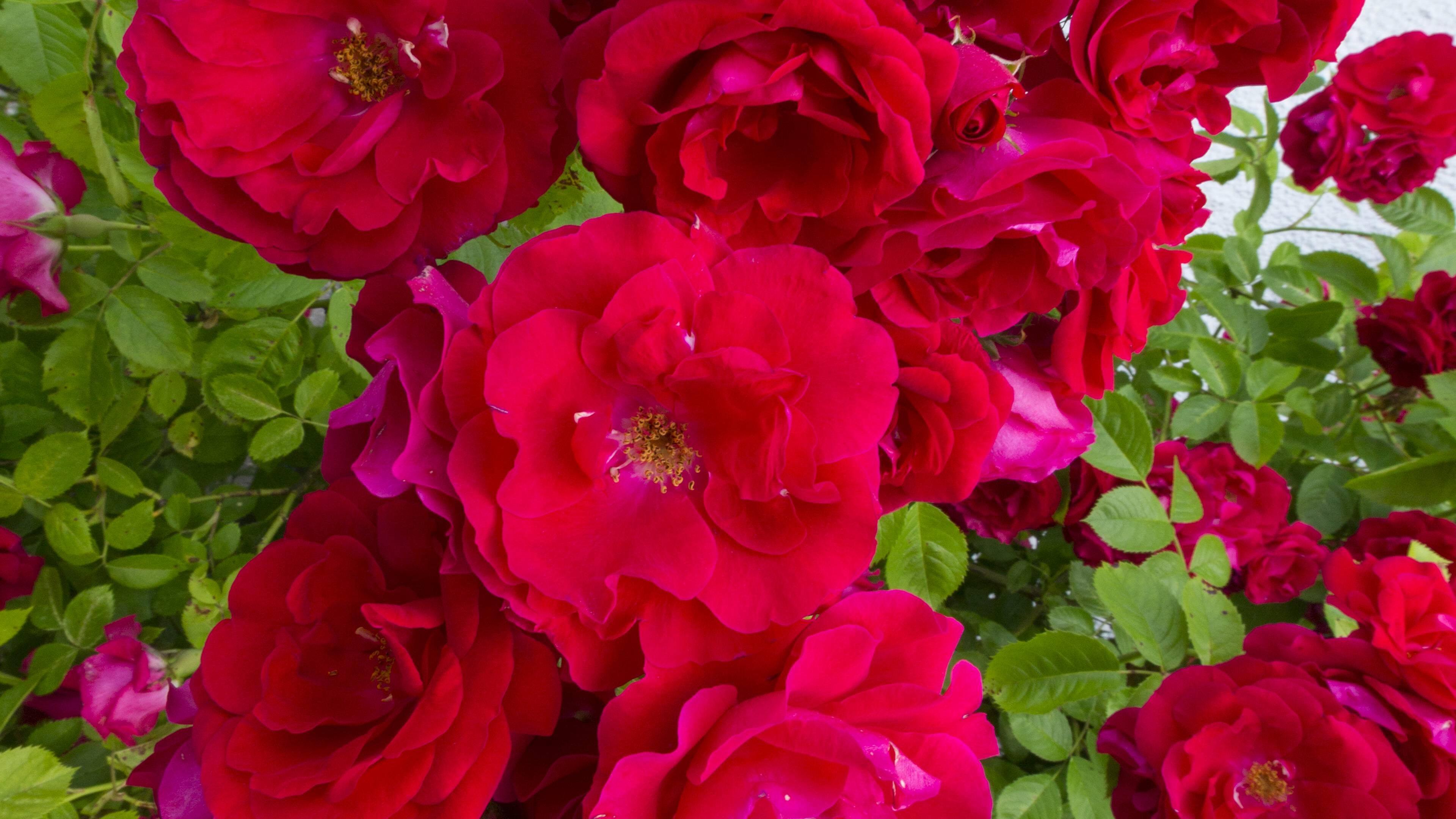 Rosen vermehren in einer Kartoffel? Alle Infos