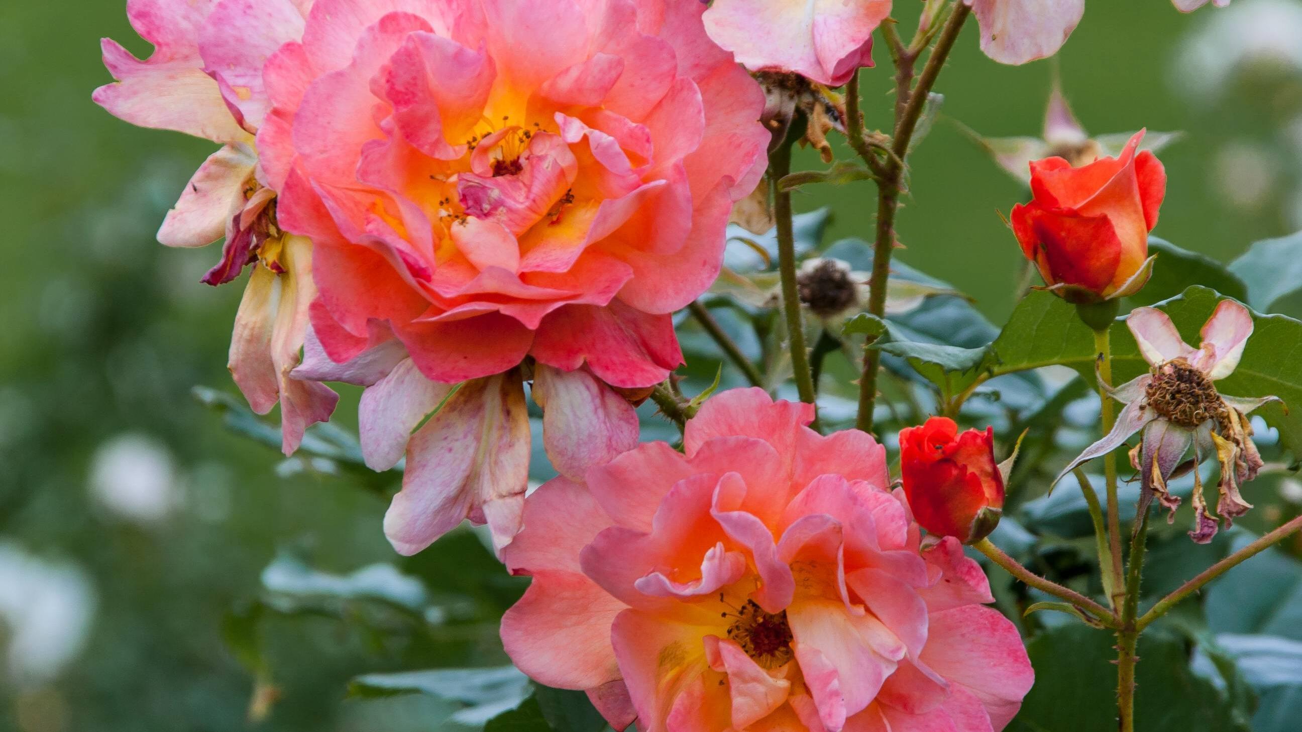 Rosen lassen sich auch mit einer Kartoffel vermehren.