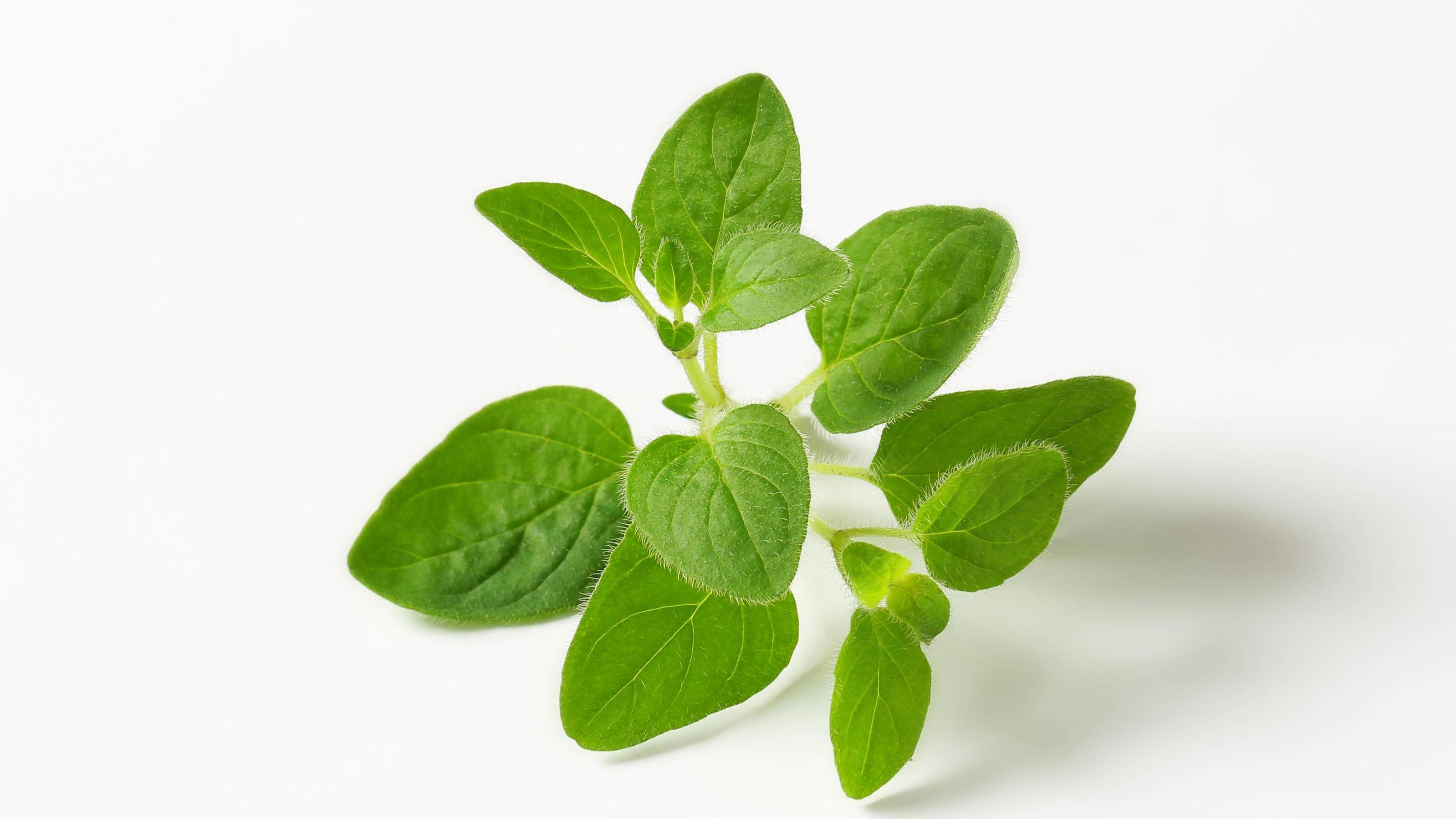 Oreganoöl kann aufgrund seiner entzündungshemmenden Wirkung gegen Akne, Zahnfleischentzündungen und Herpes eingesetzt werden.