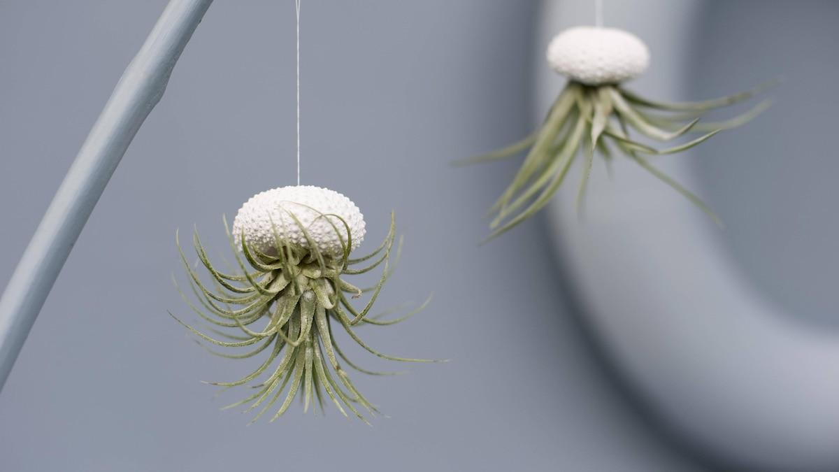 Luftpflanzen sind schick und minimalistisch, auch als freihängende Dekoration.