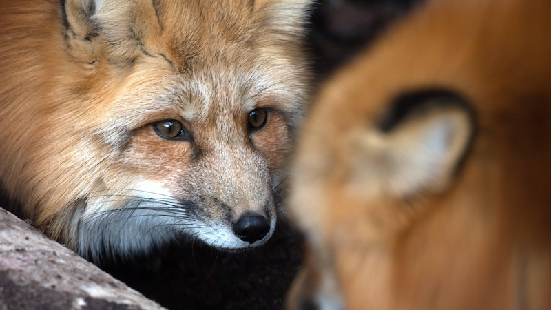 Fabelnamen: So heißen Fuchs, Bär und Co. in den Geschichten