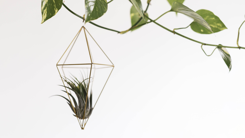 Luftpflanzen: Die besten Tipps zu Pflege und Deko