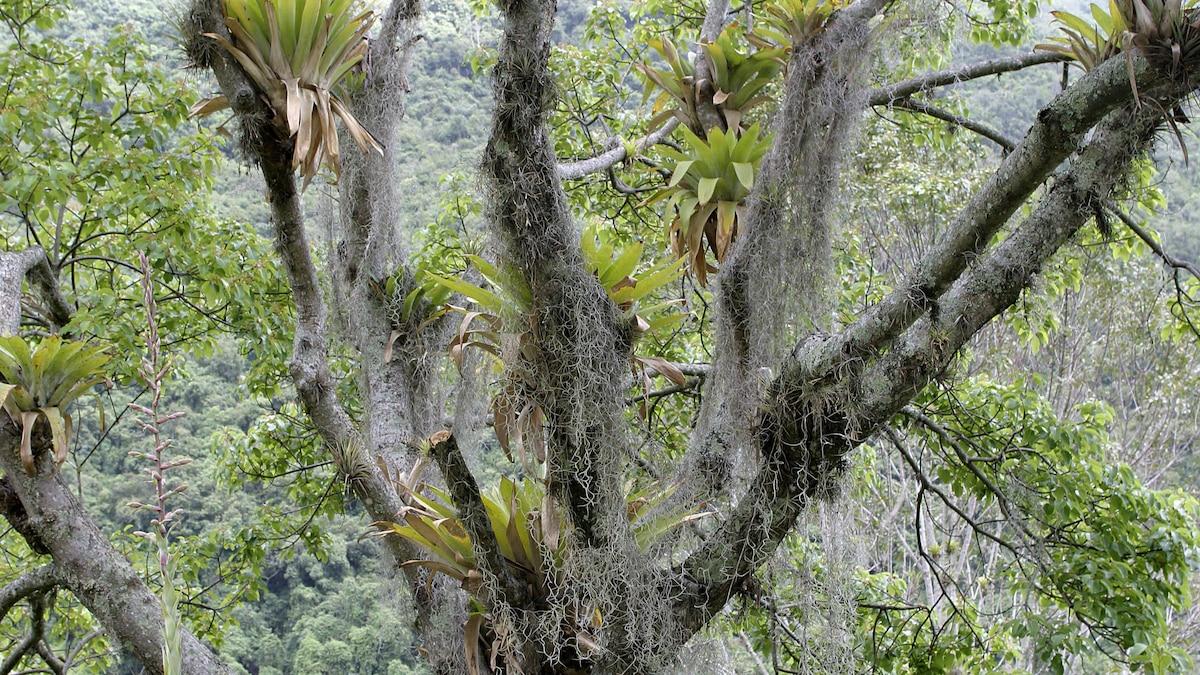 In der freien Natur wachsen die Airplants oftmals an Bäumen.