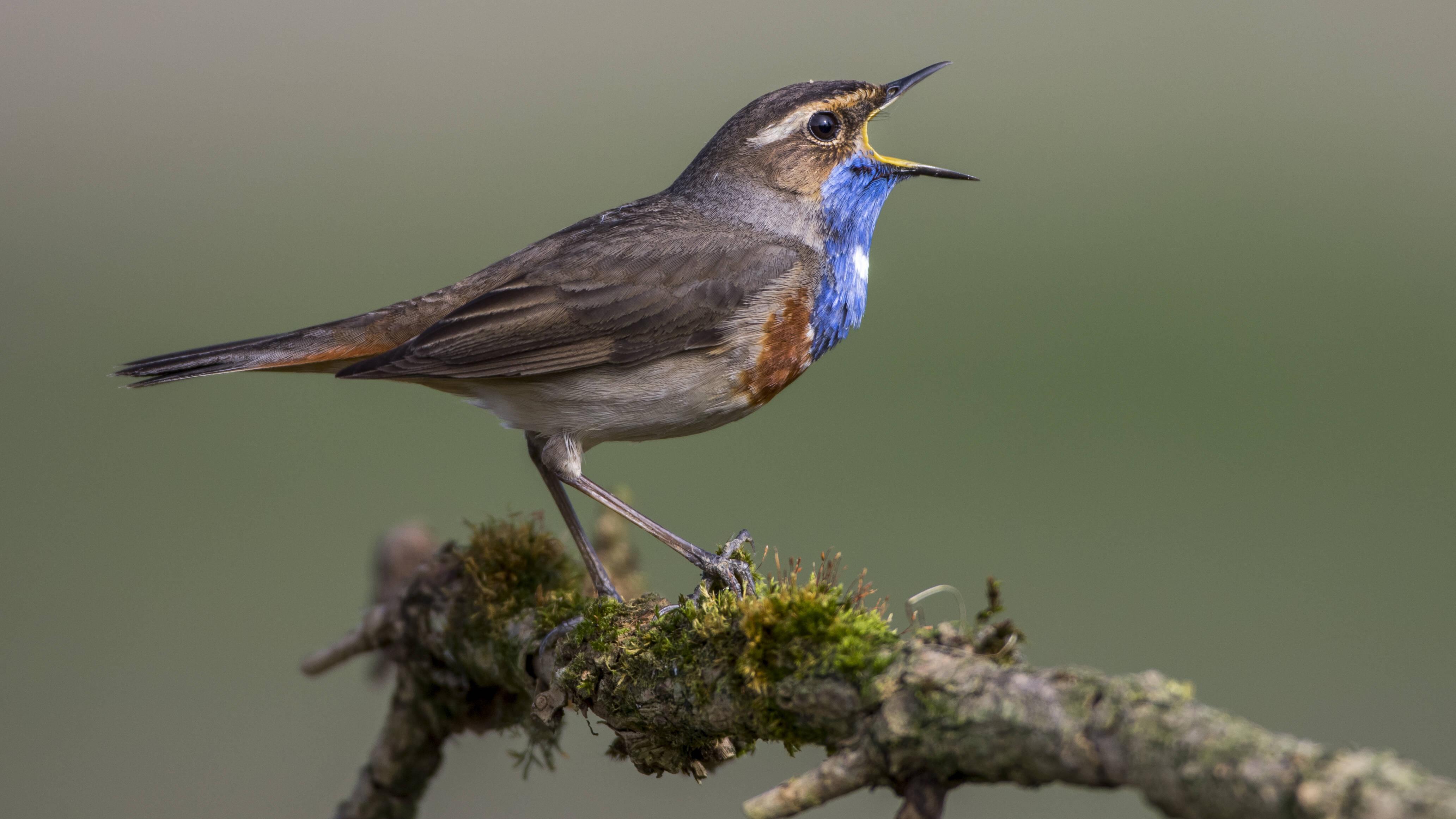 BirdNET bestimmt die Vogelart anhand von Audioaufnahmen.
