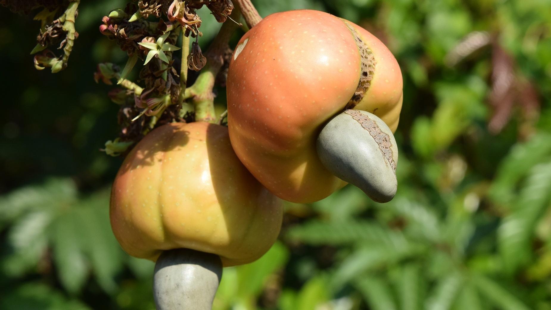 Die Früchte an denen die Cashewkerne wachsen, sehen aus wie Äpfel.