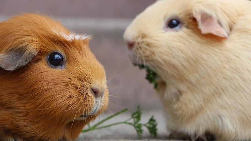 Meerschweinchen richtig pflegen: So halten Sie sie lange gesund und fit