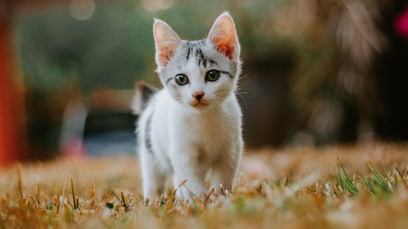 Milchtritt bei Katzen: Das steckt dahinter