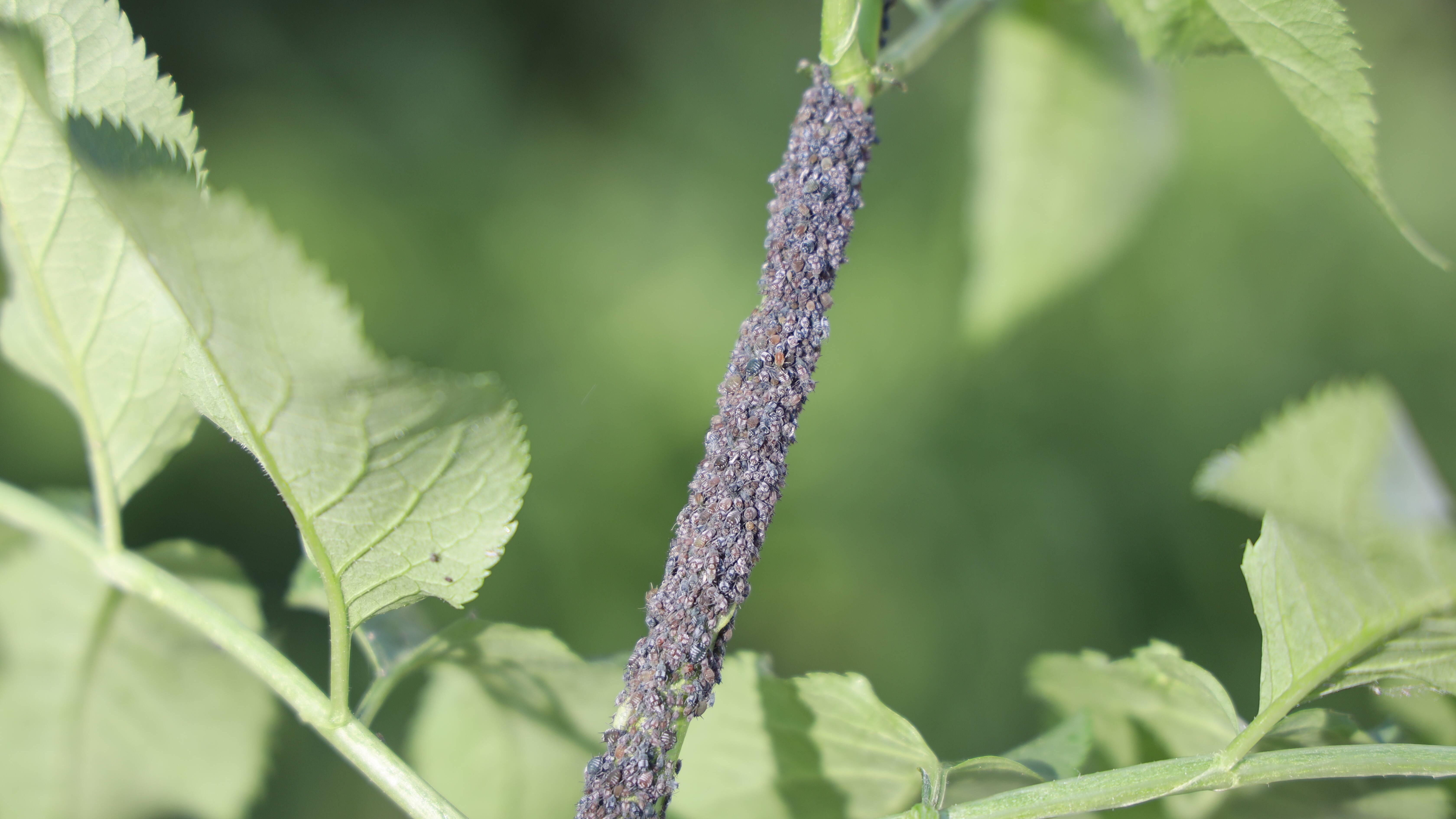 Blattläuse bekämpfen: So klappt's mit dem Hausmittel Essig