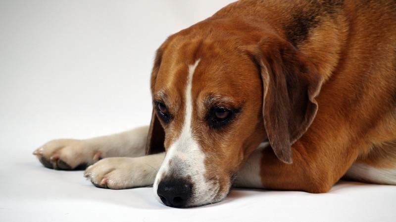 Hund ständig müde: Ursachen und Lösungen
