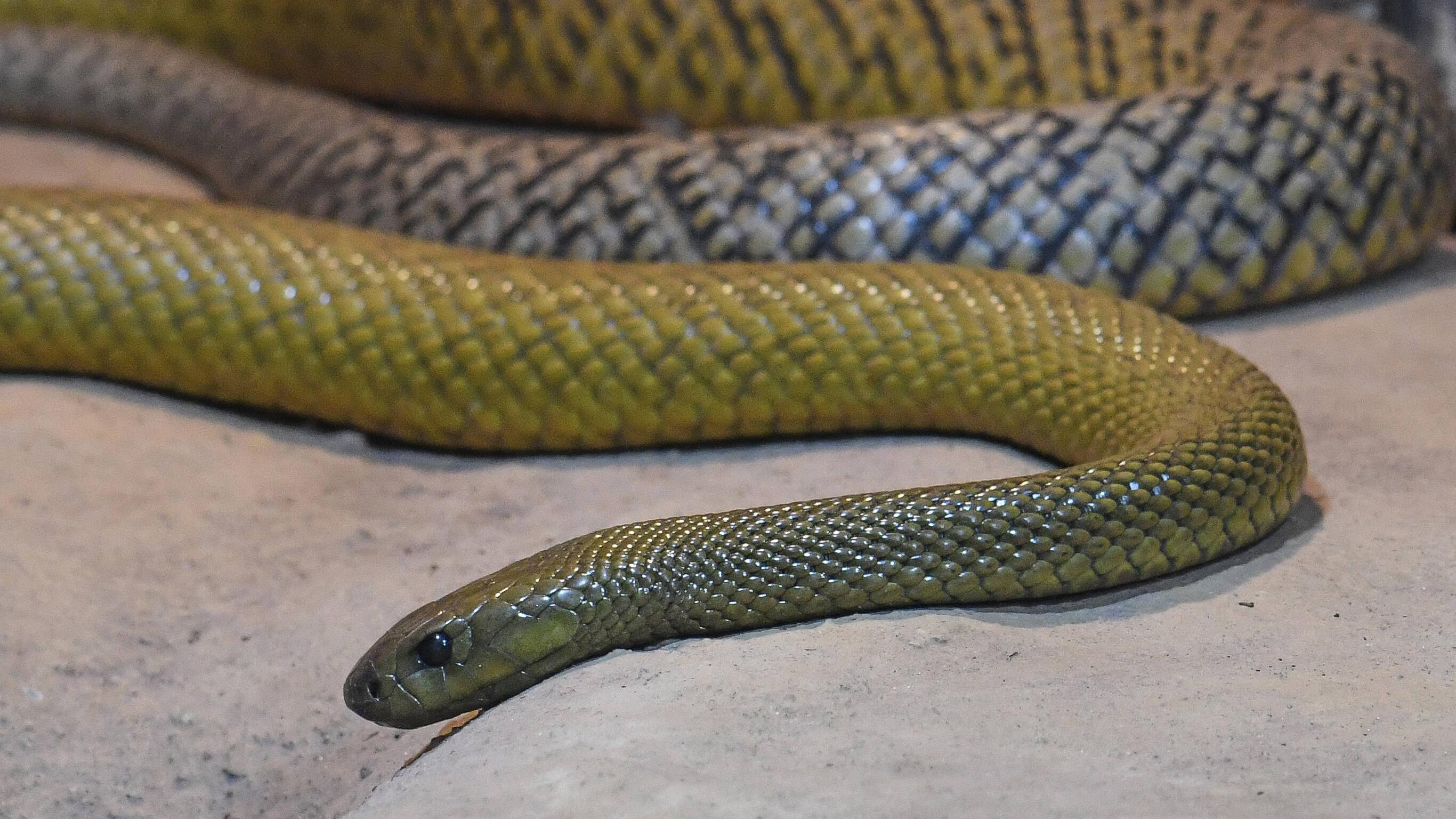 Inlandtaipan ganz vorn - die 5 giftigsten Schlangen der Welt