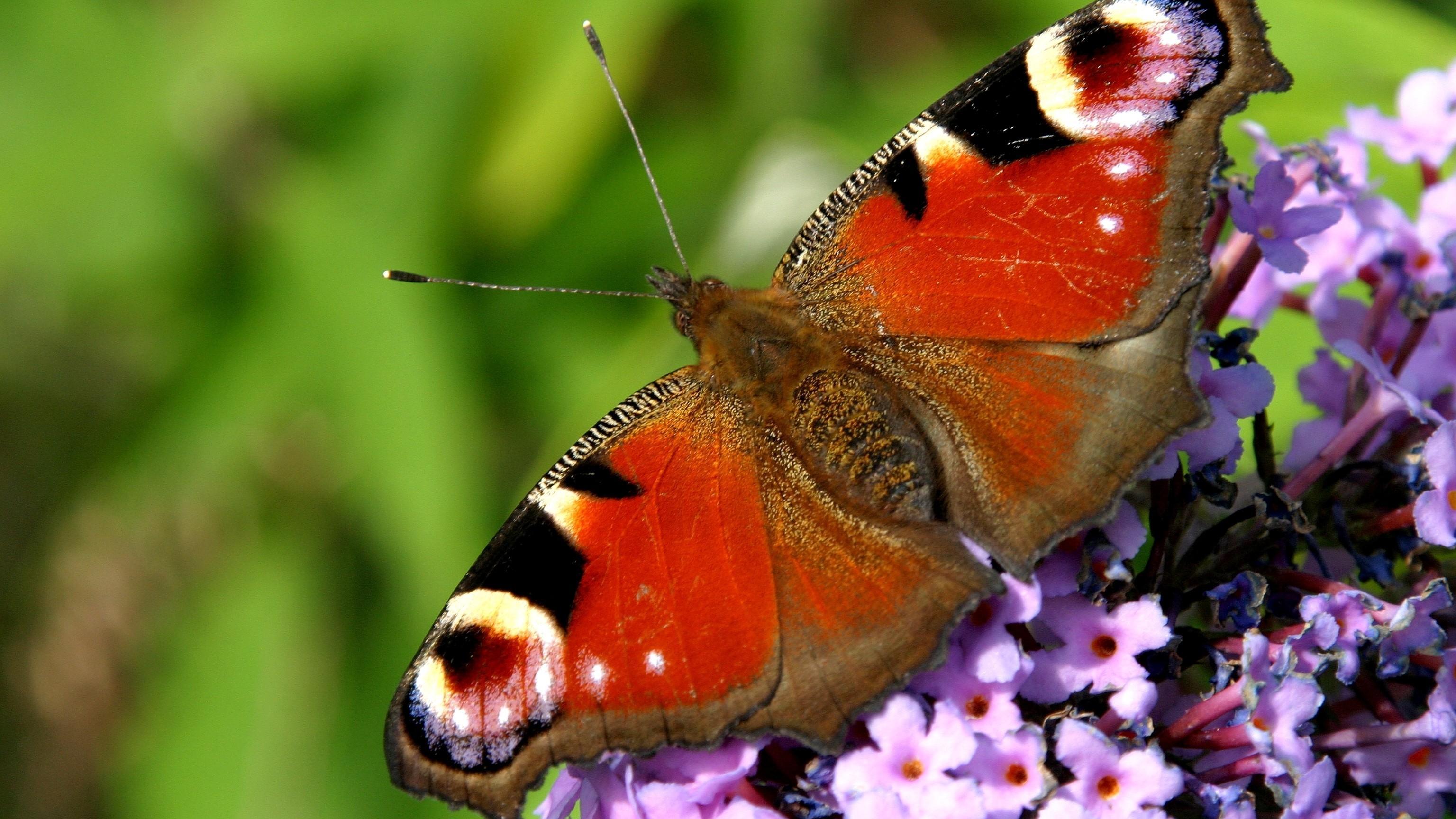 Schmetterlinge bestimmen: Mit diesen Apps geht's