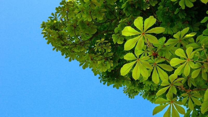 Düngen Sie Ihren Kastanienbaum in der Wachstumsphase mit Kompost.