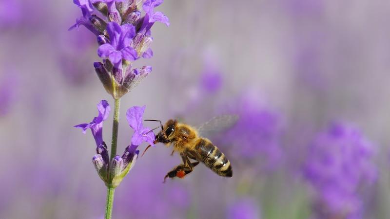 Bienen helfen: Diesen Beitrag können Sie zur Rettung der Bienen leisten