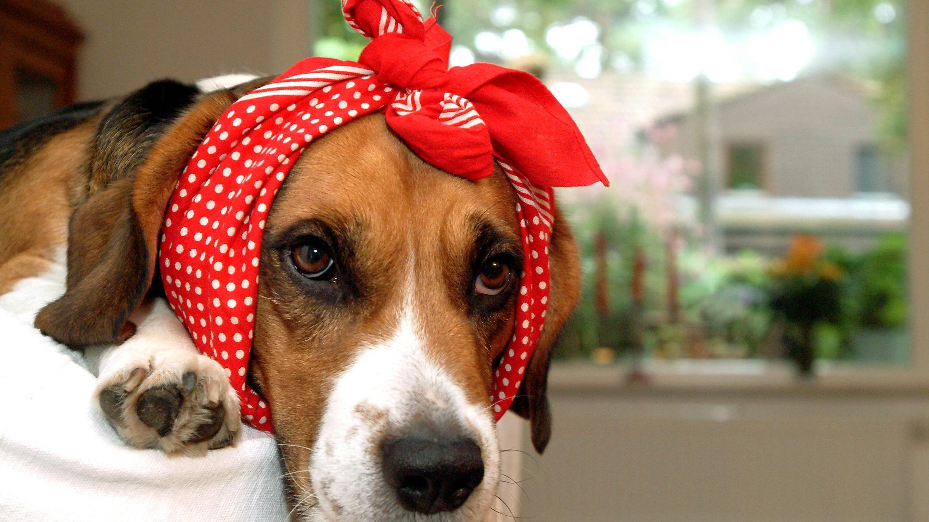 Trainieren Sie frühzeitig, den Puls des Hundes zu messen.
