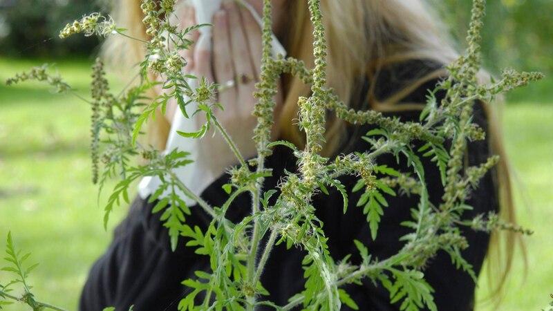 Eine Beifuß Allergie kann unterschiedliche Symptome haben.