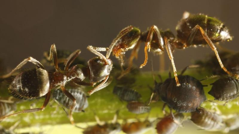 Blattläuse und Ameisen: Deshalb sind sie oft zusammen zu finden