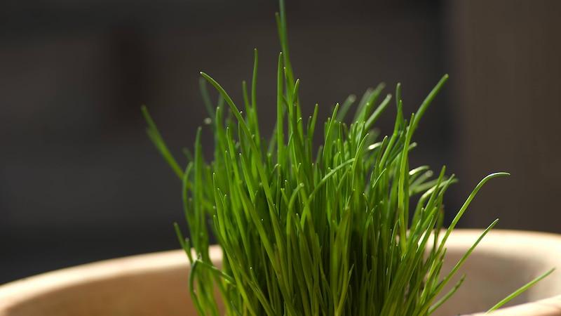 Schnittlauch aussäen - im Topf oder im Garten