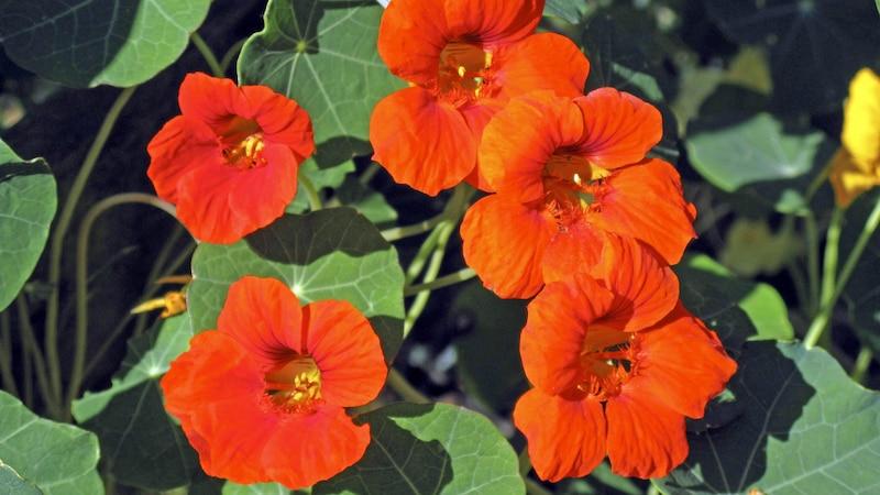 Kapuzinerkresse können Sie sowohl im Beet als auch in einem Topf oder Kübel auf Ihrem Balkon pflanzen.