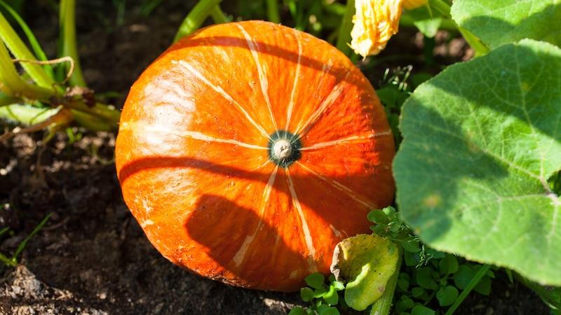 Kürbis pflanzen: Hokkaido selber anpflanzen und pflegen