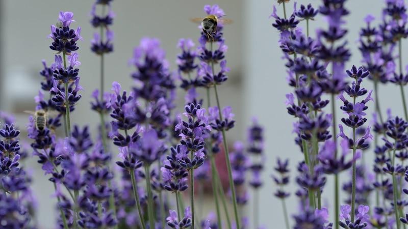 Lavendel-Salbe selber machen: So geht`s