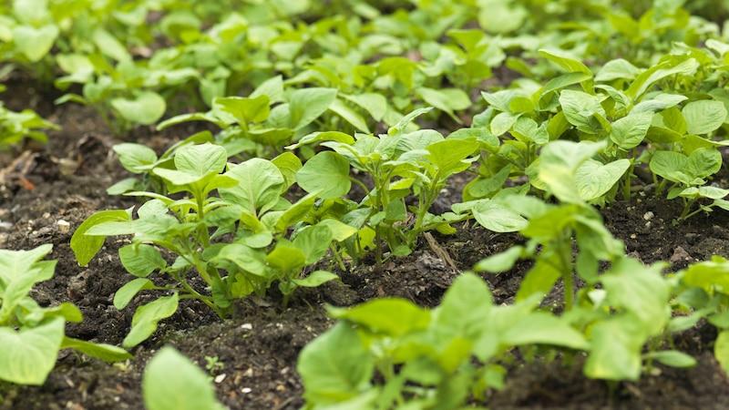 Kartoffelbeet anlegen: Diese Tipps sollten Sie kennen