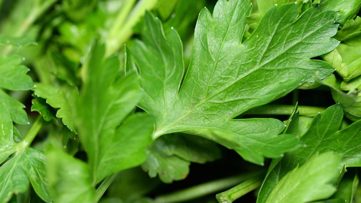 Das Aroma von glatter Petersilie ist kräftiger und würziger als bei krauser Petersilie.