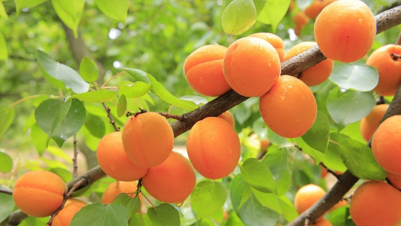 Aprikosenkern einpflanzen: So ziehen Sie Ihren eigenen Aprikosenbaum