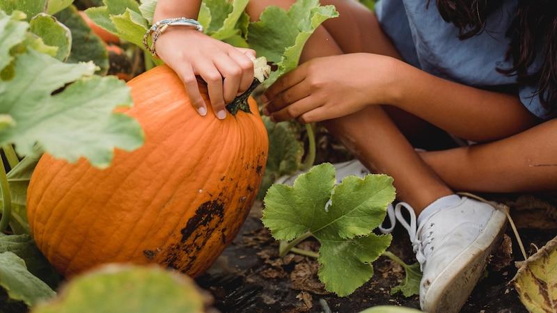 Beim Pflanzen und Ernten von Kürbissen gilt es einiges zu beachten.