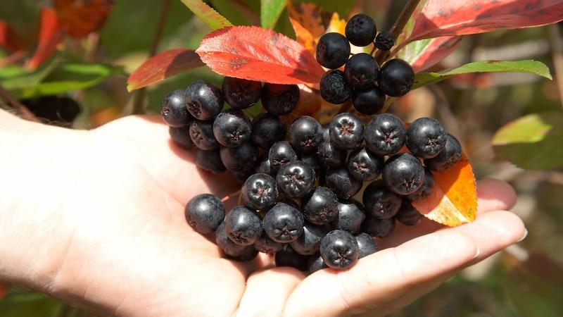 Aronia-Beeren verarbeiten: Die 5 besten Rezepte und Ideen