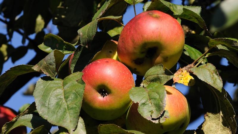 Äpfel pflücken: So geht`s richtig