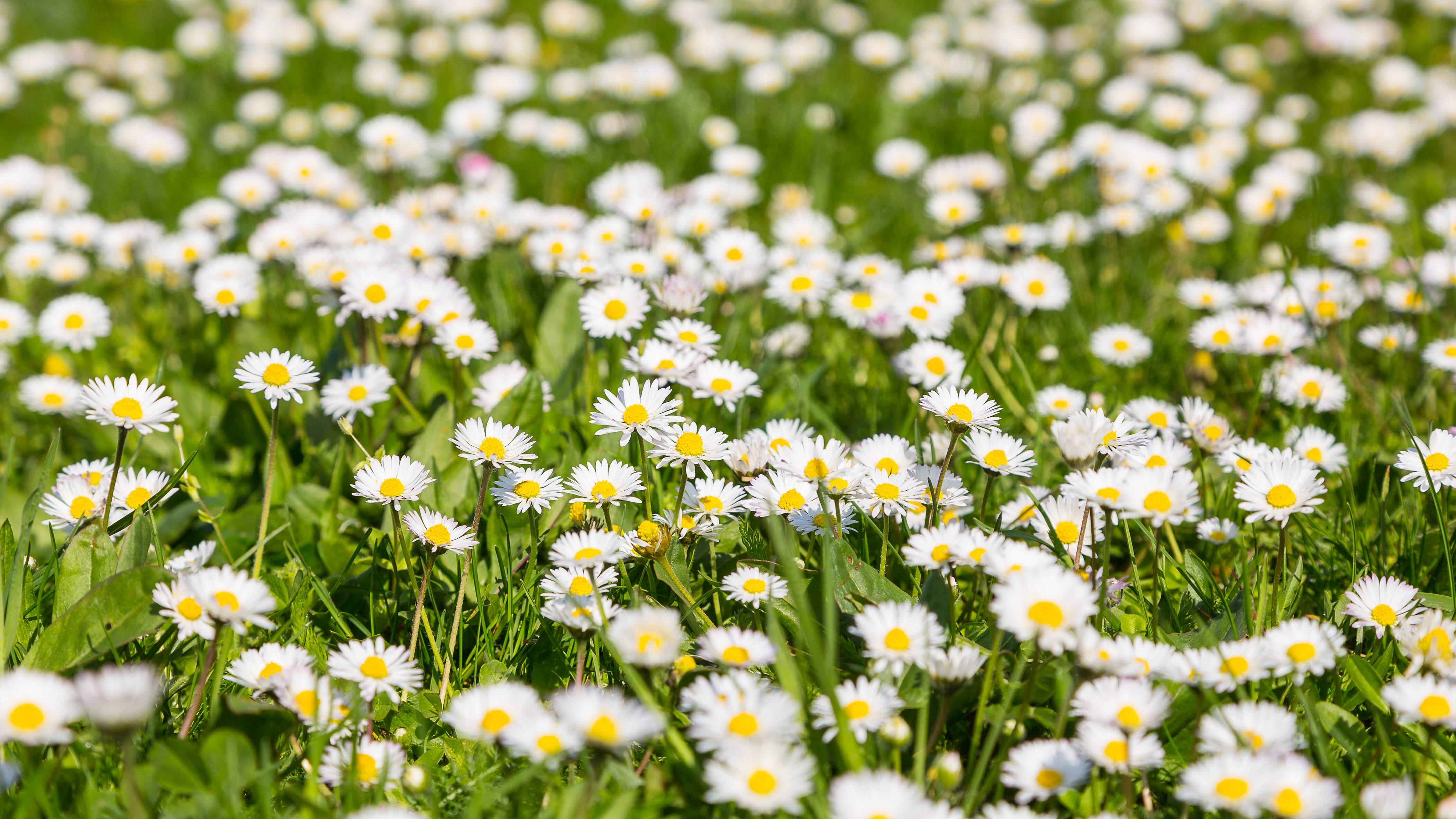 Gänseblümchen: Wirkung und Anwendung als Heilpflanze