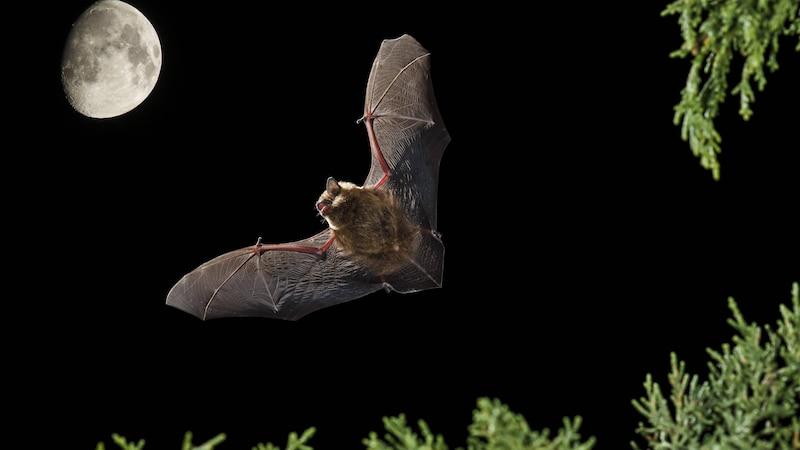 Fledermäuse und Vampire: So hängen sie zusammen