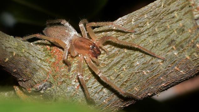 Giftige Spinnen in Deutschland: Dornfinger