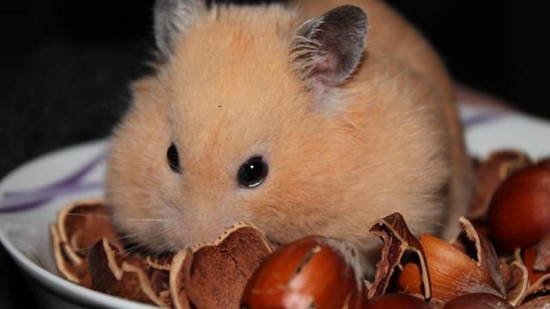 Hamster sollten Sie meist allein halten