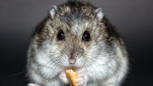 Hamster zähmen mit Futter